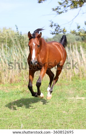 Beautiful arabian breed horse running on the field - stock photo