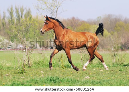 beautiful arabian horse running trot on pasture - stock photo