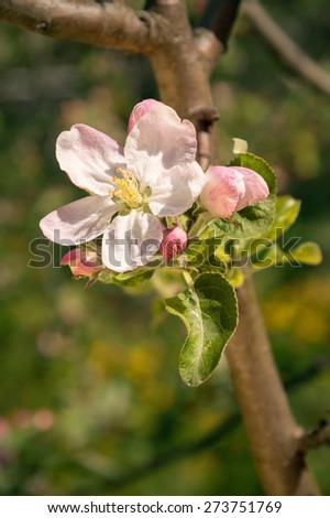 Beautiful aromatic white flower with yellow stamens and small pink buds on young apple twig lighted by bright springtime sunshine. View close-up with space for text on dark background of green grass - stock photo