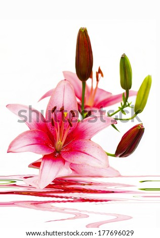 Beautiful arrangement of lilies on a white background with a wavy reflection