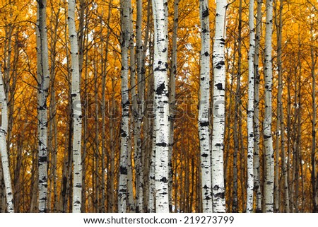 Beautiful aspen trees (Populus tremuloides) showing off their colors in autumn - stock photo