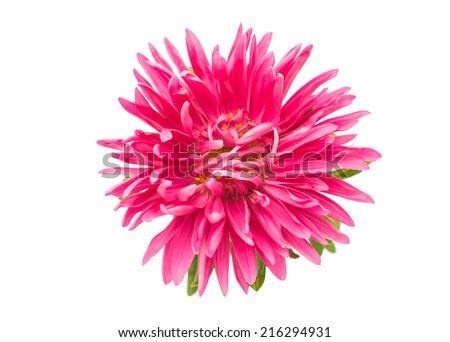 beautiful aster on a white background