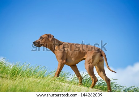 Beautiful athletic dog rhodesian ridgeback puppy active play in sand grass - stock photo