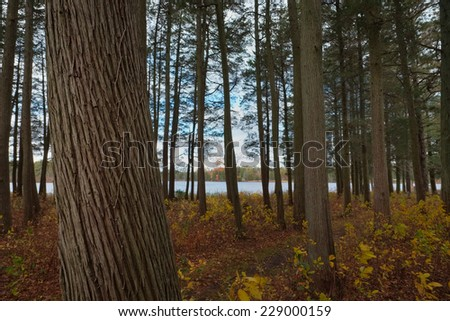 Beautiful Atlantic White Cedar trees growing in the protected forests of the New Jersey Pine Barrens  - stock photo