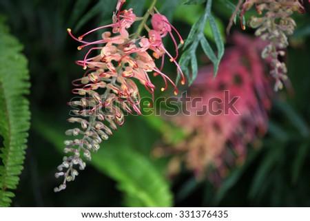Beautiful Australian Grevillea flowers - stock photo