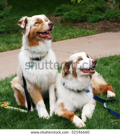 beautiful australian shepherds