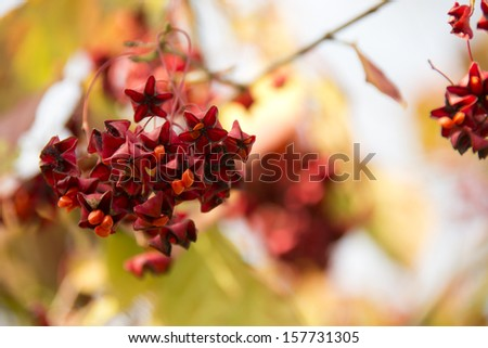 Beautiful autumn branch with fruits Euonymus - stock photo
