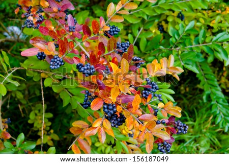 Beautiful autumn branch with multicolored leaves and dark blue berries, shallow depth of field, selective focus  - stock photo