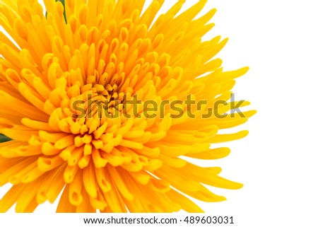 beautiful autumn chrysanthemum flower close-up
