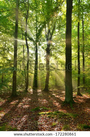Beautiful autumn dawn in beech forest - stock photo