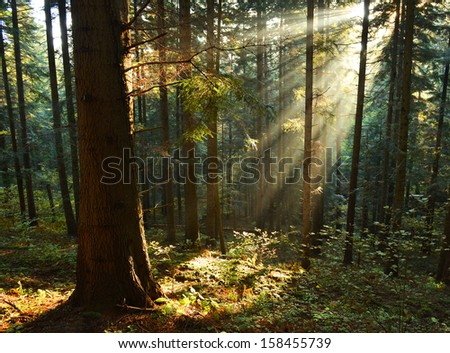 Beautiful autumn dawn in pine forest - stock photo