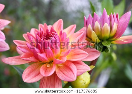 Beautiful autumn flowers - Dahlia aster family. - stock photo