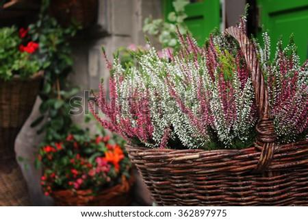 beautiful autumn heather in a basket - stock photo