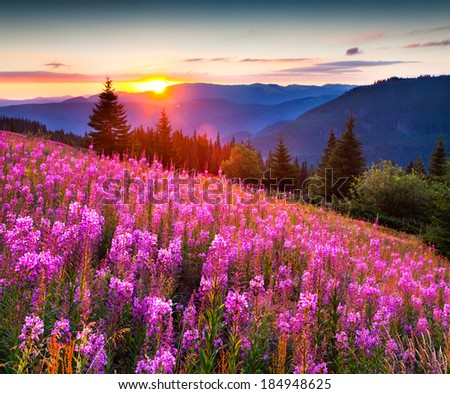 Beautiful autumn landscape in the mountains with pink flowers. Sunrise. - stock photo