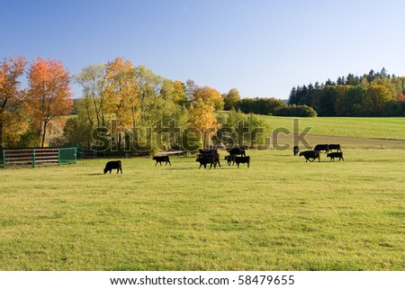 beautiful autumn landscape with grazing cows