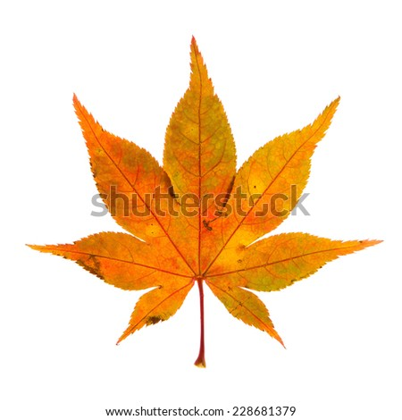 Beautiful Autumn Leaf Colorful autumn leaf isolated on a white background. - stock photo