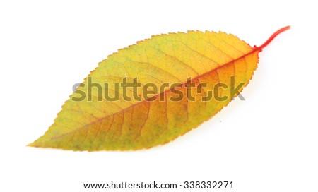 Beautiful autumn leaf, isolated on white - stock photo
