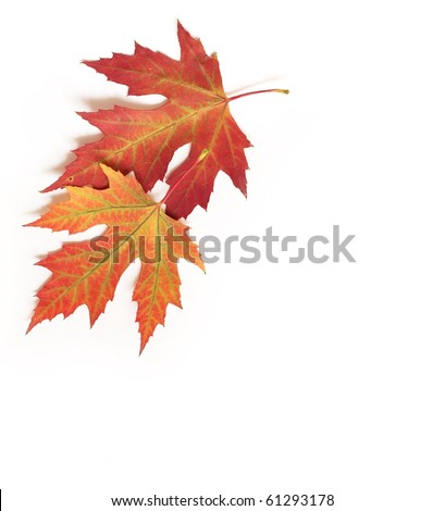 beautiful autumn maple leaf isolated on white background - stock photo