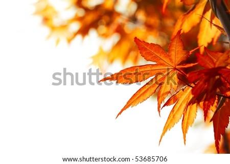 Beautiful autumn maple leaves background - stock photo
