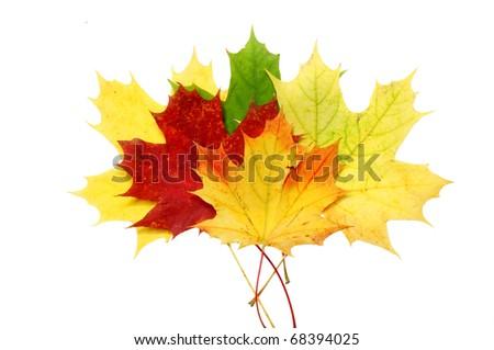 Beautiful autumn maple leaves isolated on white background - stock photo