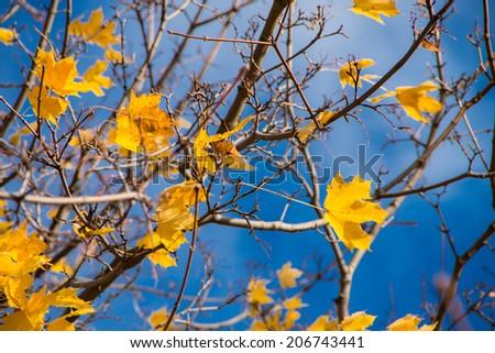 Beautiful autumn maple leaves on the wind in Helsinki, Finland - stock photo