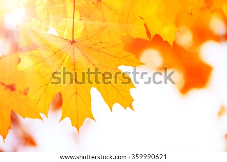 Beautiful autumn maple leaves on tree in park - stock photo