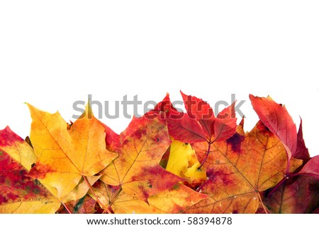 Beautiful autumn maple leaves with copy space for your text isolated on white background  - stock photo