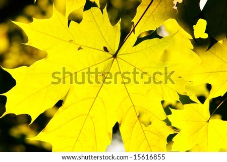 Beautiful autumn yellow leaves of maple close-up