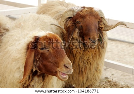 Beautiful awassi sheeps - stock photo