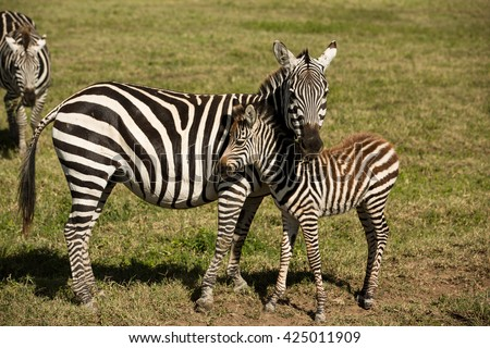 Beautiful baby zebra with his mom