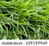 beautiful backdrop of green grass - stock photo