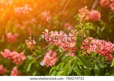 Flower chestnut tree pink flower on stock photo 369760415 shutterstock beautiful background of spring blooming pink chestnut tree flowers mightylinksfo Gallery