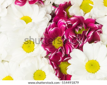 beautiful background of white flowers and purple chrysanthemum with yellow center