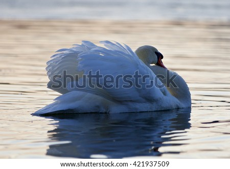 Beautiful background with a mute swan in the lake on sunset - stock photo