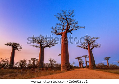 Beautiful Baobab trees after sunset at the avenue of the baobabs in Madagascar - stock photo