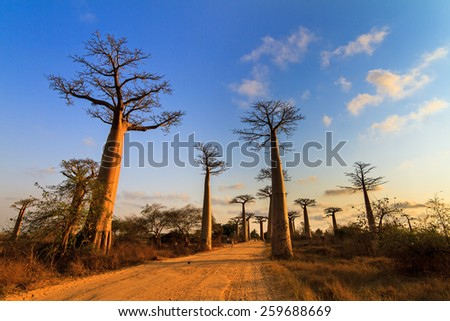 Beautiful Baobab trees at sunset at the avenue of the baobabs in Madagascar - stock photo