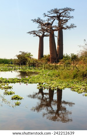Beautiful Baobab trees in the landscape of Madagascar reflected in a pond - stock photo