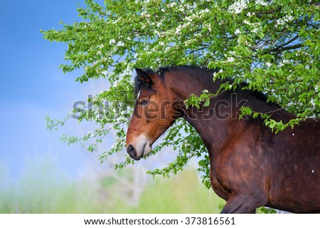 Beautiful bay horse apples standing under a blossoming tree on the background of a stormy sky in the spring. Portrait of brown mare with flowers in profile close-up - stock photo