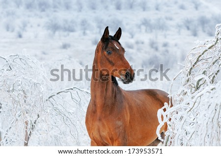 Beautiful bay horse in magic  winter forest, blue toned image - stock photo