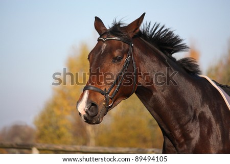Beautiful bay horse with black bridle portrait in autumn