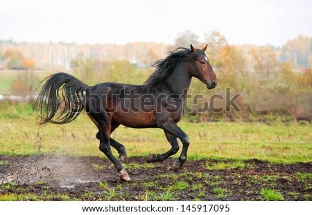 Beautiful bay stallion galloping on field in autumn - stock photo
