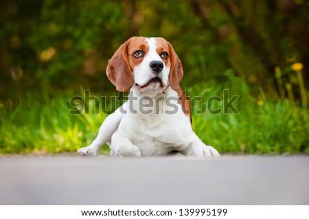beautiful beagle dog outdoors - stock photo
