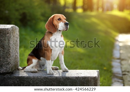Beautiful beagle dog outdoors - stock photo