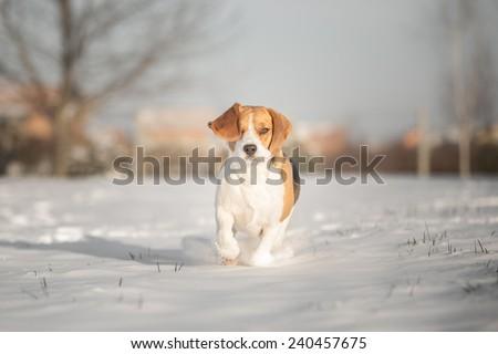 Beautiful Beagle dog winter portrait - stock photo