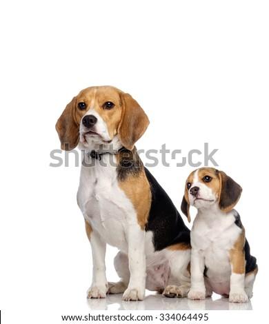 Beautiful beagle family isolated on white  - stock photo