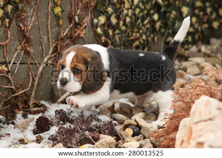 Beautiful beagle puppy on the garden in winter - stock photo
