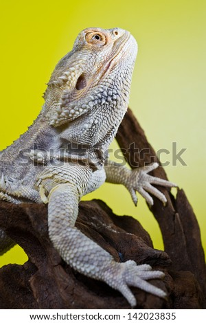 Beautiful Bearded dragon reptile lizard on a branch on green yellow blurred background