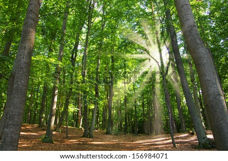 beautiful beech wood in germany in back light - stock photo