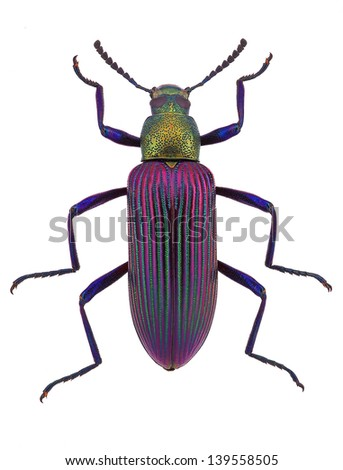 beautiful beetle  Strongylium cupripenne from Madagascar (Tenebrionidae)