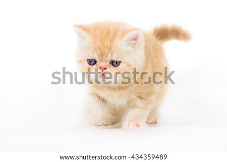 beautiful beige exotic kitten on white background - stock photo